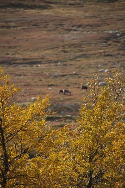 Høst blader i fjellet